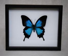 """Papilio ulysses"" bovenkant in 3D lijst"
