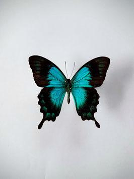Ongeprepareerde Papilio Lorquinianus