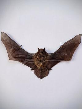 Opgezette Pipistrellus Javanicus (vleermuis)