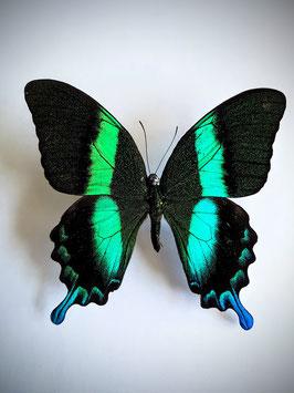 Ongeprepareerde Papilio Blumei