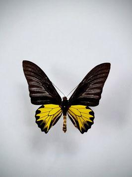 Ongeprepareerde Ornithoptera Troides (man)