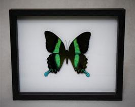 """""""Papilio blumei"""" bovenkant in 3D lijst"""