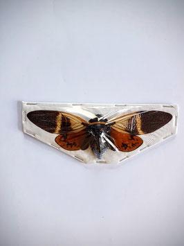 (On)geprepareerde Angamiana Floridula (Cicade)