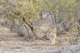 Lionne dans le Bush - 20 x 30 cm