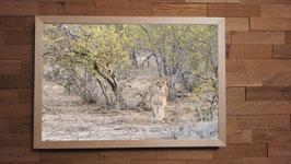 Lionne dans le Bush - 40 x 60 cm + CADRE