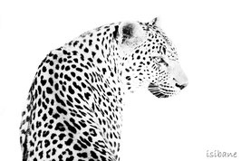 2 - LEOPARD HIGH-KEY