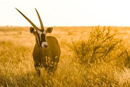 Oryx au couchant - 14 x 21 cm