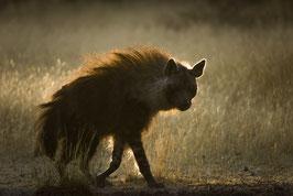 Hyène brune 2 - 40 x 60 cm