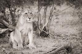 Lionne en observation - 40 x 60 cm