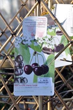Cerisier - Prunus avium Sunburst