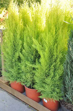 Cupressus Gold. Wil