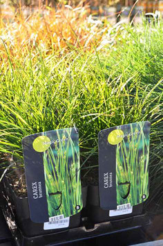 "Carex ""Magic Green"""