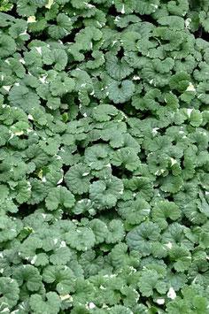 Mix 6 plantes-lierre