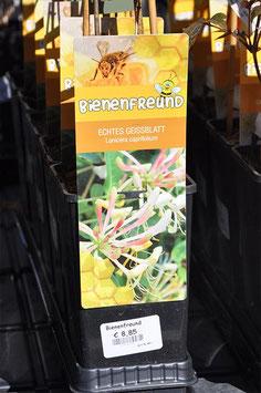 "Loniceria heckrotti ""Goldflame"""