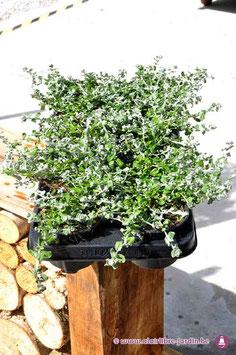 Helichrysum micro p10.5