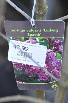 Syringa Vulgaris A and L Spaeth
