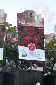 "Rosa ""Fairy King"""