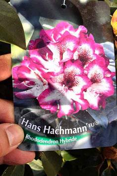 "Rhodo ""Hans Hachmann"""