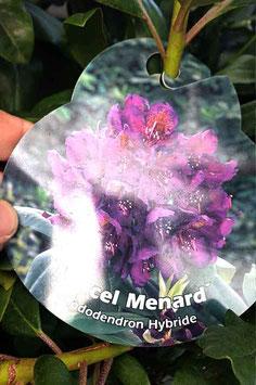 """Rhodo """"Marcel Menard"""""""