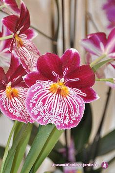 Orchidée Miltoni Tigrée fushia et blanc.