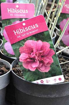 """Hibiscus """"Duc de Brabant"""""""