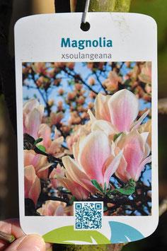 Magnolia Xsoulangeana