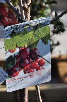 Cerisier - Prunus avium Stella
