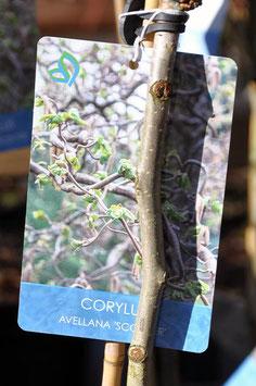"Corylus Avellana ""Scooter"""
