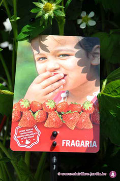 Fraisiers Fragaria Tenira