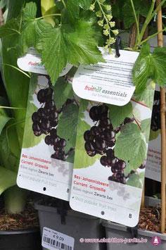 """Ribes Nigrum """"Zwarte bes"""""""