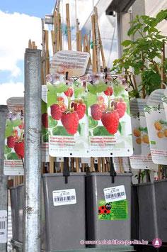 "Rubus ""Tulameen"""