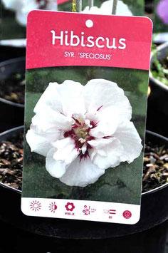 """Hibiscus """"Speciosus"""""""