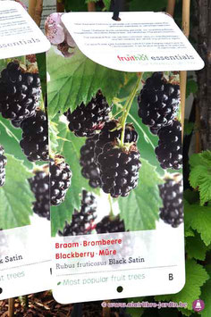 "Rubus fruticosus ""Black Satin"""