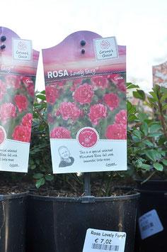 """Rosa """"Lovely Fairy"""""""