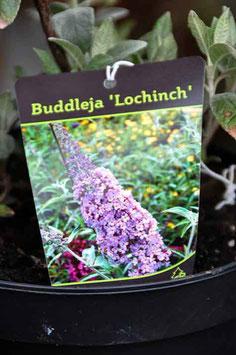"""Buddleja """"Lochinch"""""""