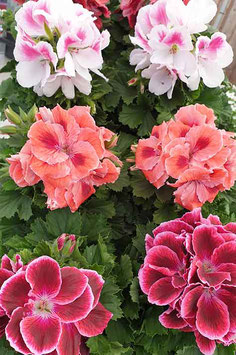 """Pelargonium """"Plant Mère"""""""