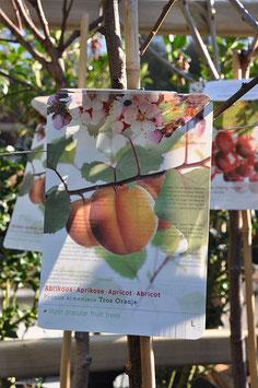 Abricotier Tros Oranje