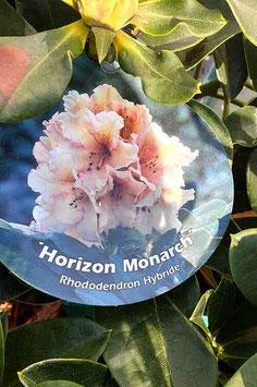 "Rhodo ""Horizon Monarch"""