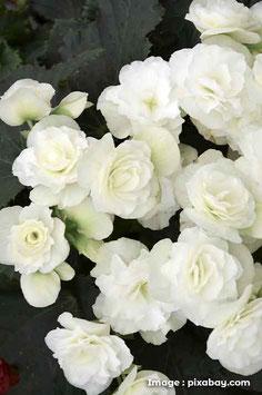 Begonia Tuberaux Blancs