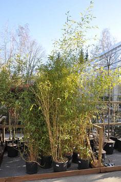 Bambou Aurea T2