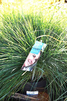 "Festuca G. ""Intense Blue"""