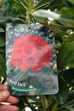 "Rhodo ""Red Jack XL"""