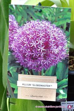 """Allium """"Globemaster"""""""