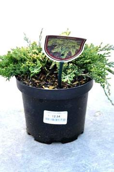 """Juniperus """"Golden Carpet"""""""