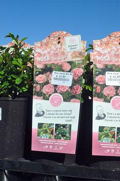 """Rosa """"The Fairy"""" miniature"""