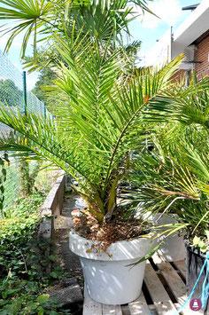 """Palmier """"à longues feuilles"""""""