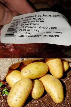 "Pommes de terre - ""Nicola"""