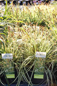 "Carex H. ""Evergold"""