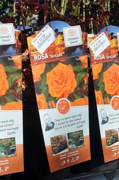"""Rosa """"Westzeit"""""""