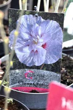 """Hibiscus """"China Chiffon"""""""